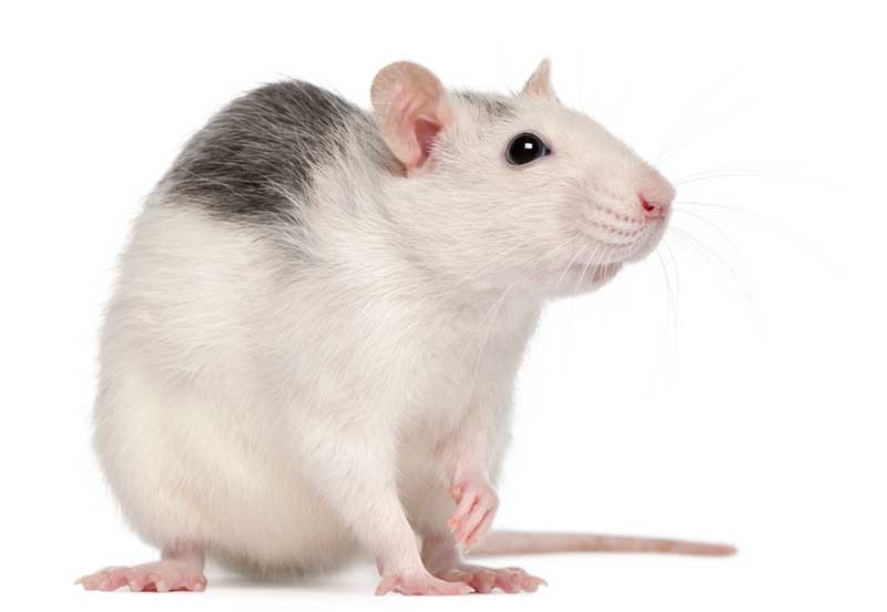 Domestic rats and wild rats ... completely different!